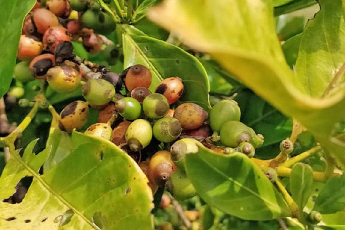 Labi Coffee Farm